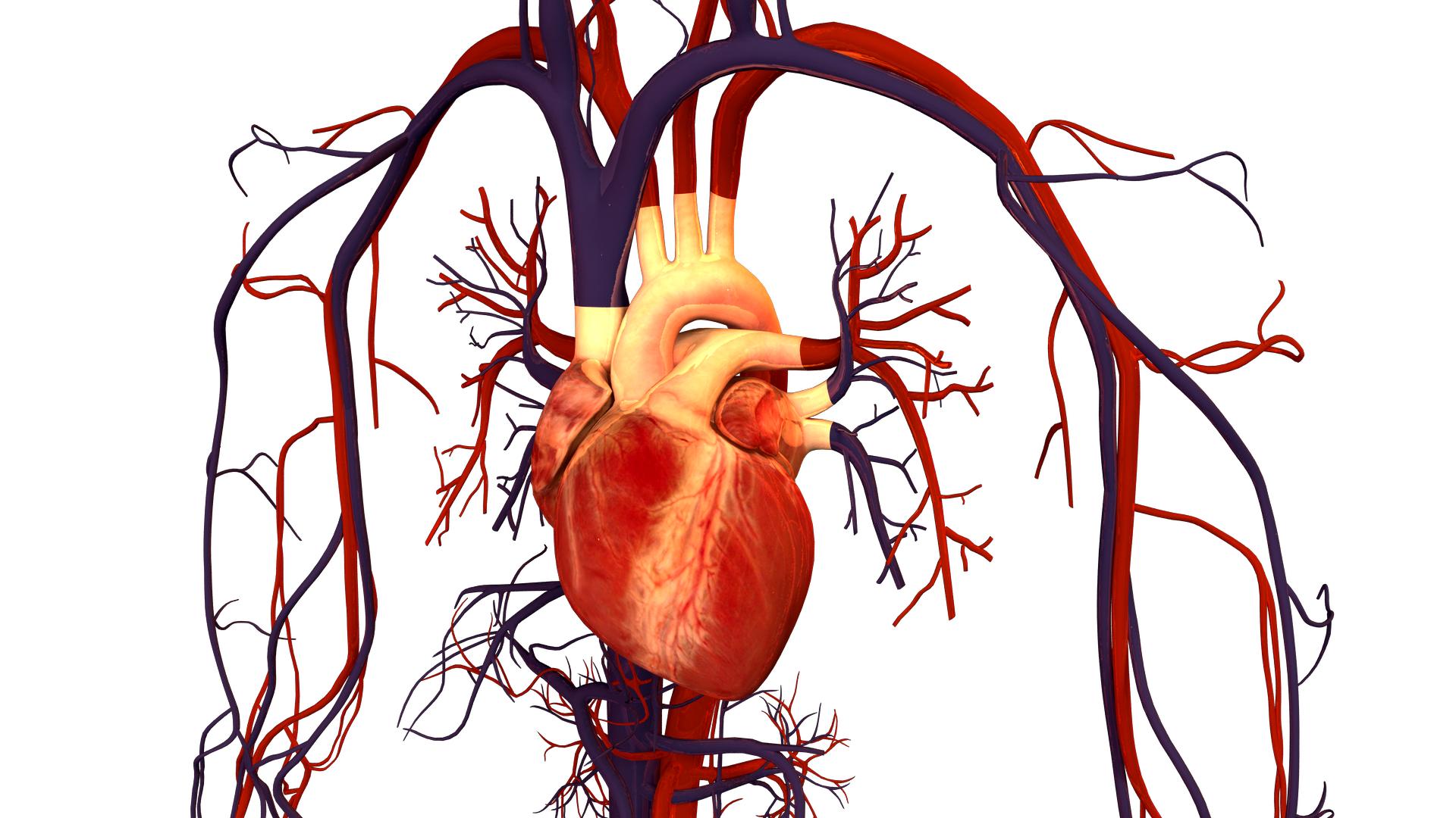 Description-Human-Heart-drawing